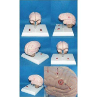 Brain Epilepsy Model Pharmaceutical and Anatomical Model Gifts