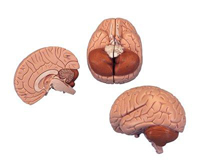 Brain Model in Two Parts Pharmaceutical and Anatomical Model Gifts