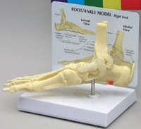 Foot / Ankle Model Pharmaceutical and Anatomical Model Gifts