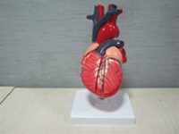 Heart Pharmaceutical and Anatomical Model Gifts