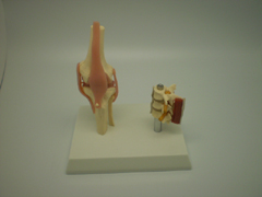 Knee And Lumbar Vertebrae Model Pharmaceutical and Anatomical Model Gifts