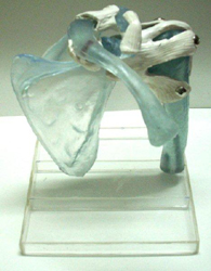 Shoulder Joint Translucent Soft Gel Like Material Pharmaceutical and Anatomical Model Gifts