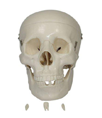Skull Pharmaceutical and Anatomical Model Gifts