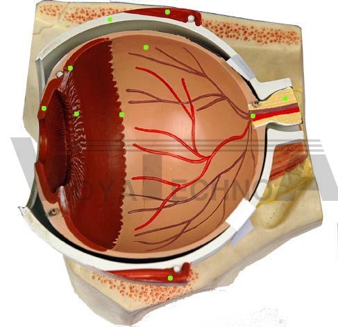 anatomy of eye. Eye: Internal Anatomy