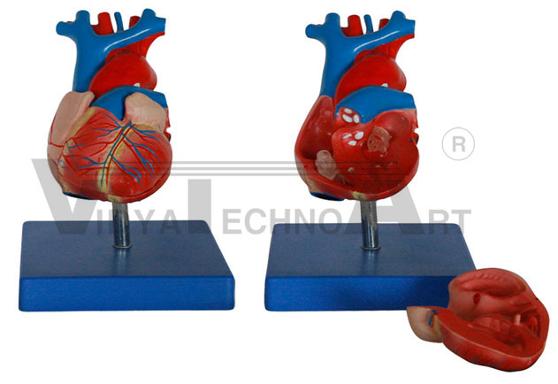 Life Size Heart Model Pharmaceutical and Anatomical Model Gifts