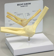 Basic Elbow Pharmaceutical and Anatomical Model Gifts
