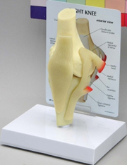 Basic Knee Pharmaceutical and Anatomical Model Gifts