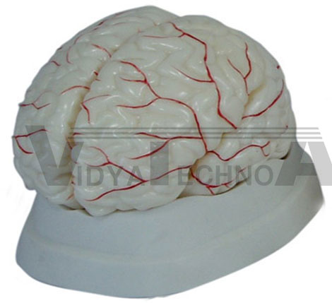 Brain With Arterial Pharmaceutical and Anatomical Model Gifts
