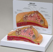 Breast Cross Section Pharmaceutical and Anatomical Model Gifts