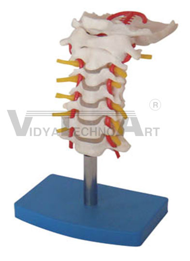 Cervical Vertebral Column With Neck Artery Occipital Hemiated Disc And Nerves Pharmaceutical and Anatomical Model Gifts Pharmaceutical and Anatomical Model Gifts
