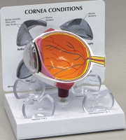 Cornea Eye Cross-Section Pharmaceutical and Anatomical Model Gifts