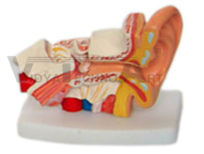 Desktop Ear Model Pharmaceutical and Anatomical Model Gifts