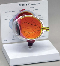 Eye Pharmaceutical and Anatomical Model Gifts