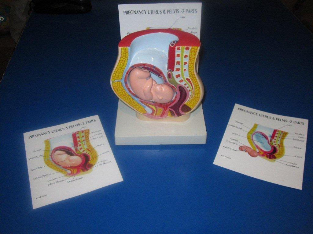 Uterus Pregnancy Pelvis With Removable Baby Model Table Top Pharmaceutical and Anatomical Model Gifts