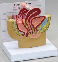 Female Pelvis Pharmaceutical and Anatomical Model Gifts