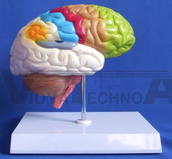 Half Brain Models Pharmaceutical and Anatomical Model Gifts
