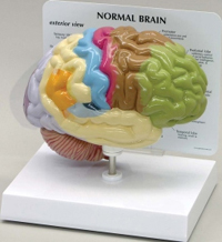 Sensory-Motor Half Brain Model Pharmaceutical and Anatomical Model Gifts