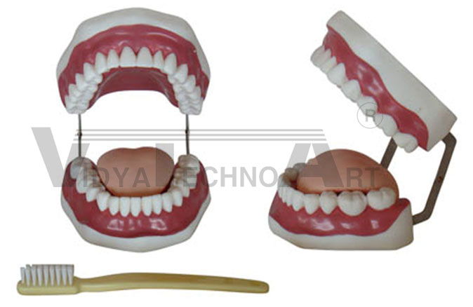 The Health Care Of Mouth Cavity (with Tooth Brush) Pharmaceutical and Anatomical Model Gifts