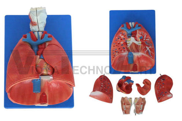 Larynx, Heart And Lung Model Pharmaceutical and Anatomical Model Gifts