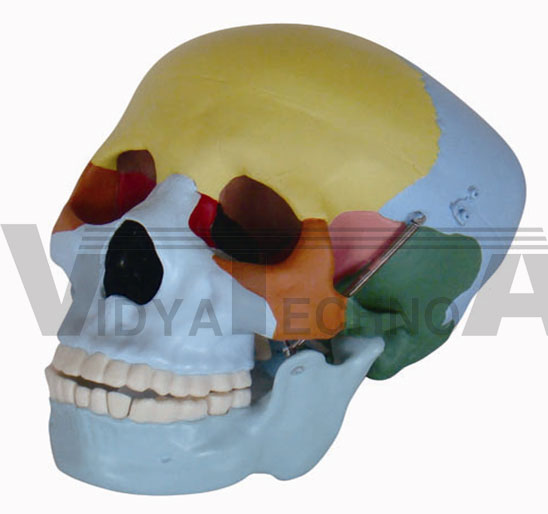 Life-Size Skull With Colored Bones Pharmaceutical and Anatomical Model Gifts