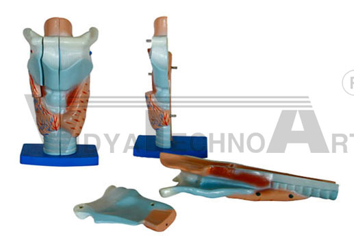 Magnified Human Larynx Model Pharmaceutical and Anatomical Model Gifts
