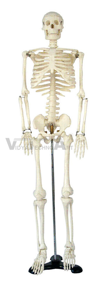 Medium Skeleton 85cm Tall Pharmaceutical and Anatomical Model Gifts