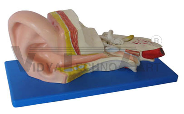 Middle Ear Model Pharmaceutical and Anatomical Model Gifts