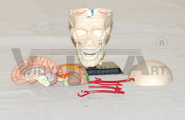 Mini Skull With Brain Pharmaceutical and Anatomical Model Gifts