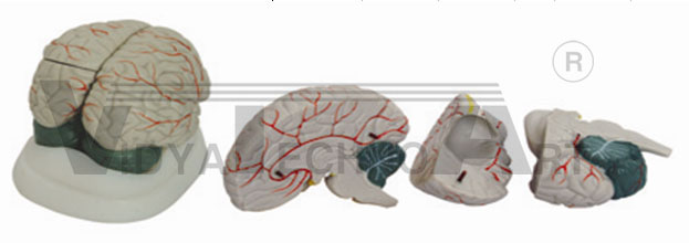 New Style Brain Model Pharmaceutical and Anatomical Model Gifts