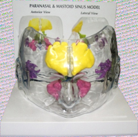 Sinus Models Transparent With All Sinuses Complete On Base Pharmaceutical and Anatomical Model Gifts