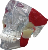 TMJ Anatomy Model Pharmaceutical and Anatomical Model Gifts